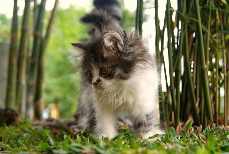 Котенок породы мейн-кун. Фото   Мейн кун, Кошки и Кошки и ...