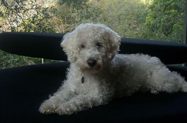 Schnoodle Dog Crossbreeds Schnoodle Dog Dog Breeds
