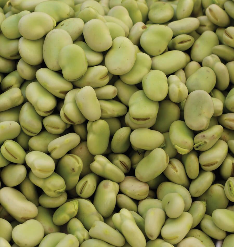 Easy To Grow Early Thorogreen Lima Beans Are Dwarf Plants 400 x 300