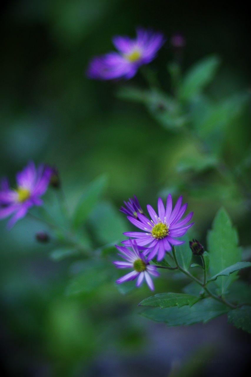 Uyamt uc野菊のぎく wild chrysanthemum ud flowers and little