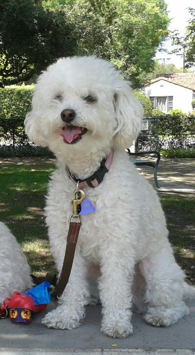Multi Poo Dog Fiona Tiny Puppies Poodle Mix Dogs