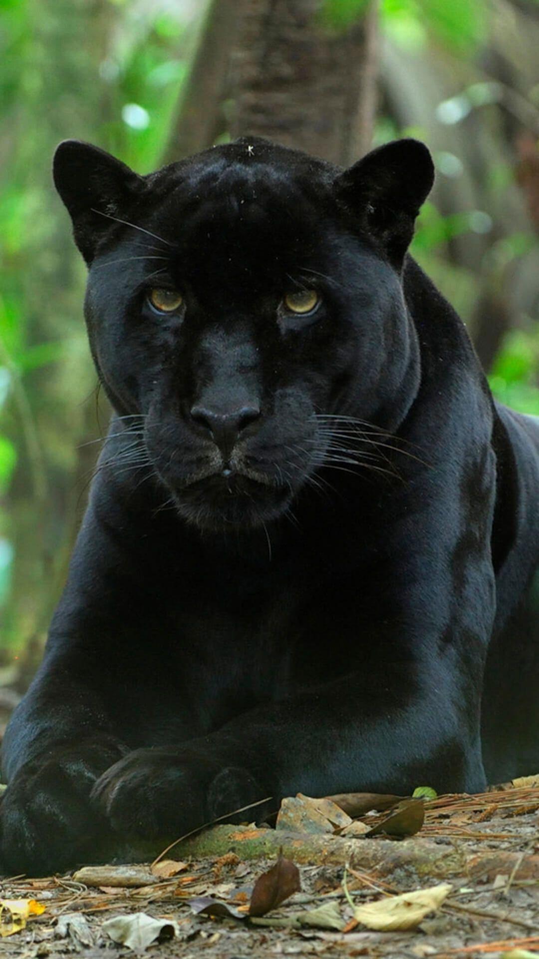 Black Panther Animal Hd Wallpaper Download In 2020 Black Panther Cat Black Jaguar Animal Panther Cat