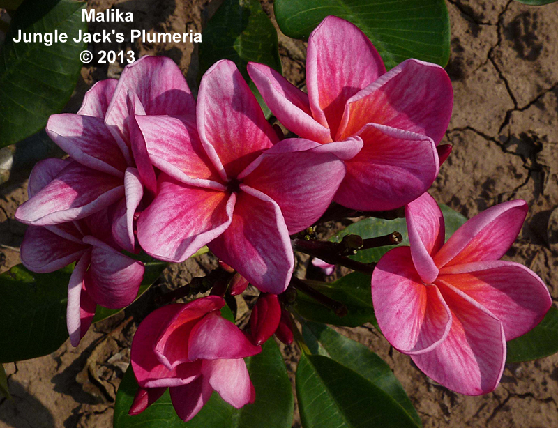 Malika The Name Means Queen In Hindi This Is One Of Our Very Newest Varieties And Appears To Be A Highly Compact Or Dwarf Plume Plumeria Flowers Frangipani