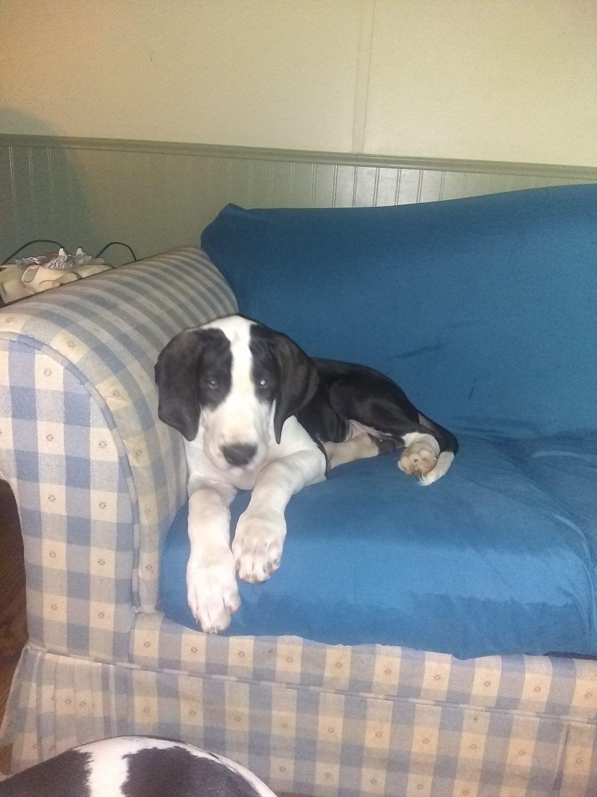 Eddie Great Dane Puppy For Sale In East Earl Pa Lancaster