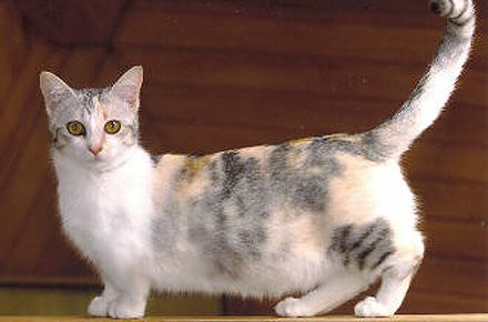 The Munchkin Cat Feline Profile Character And Care Kittycat