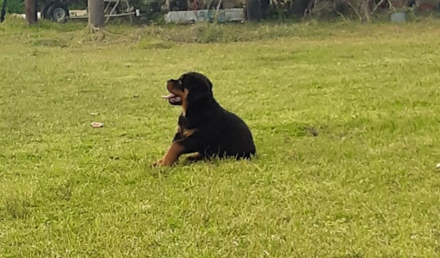 Dallas male AKC Rottweiler puppy for sale in Huger