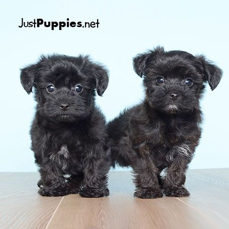 Puppies For Sale Orlando Fl Justpuppies Net Puppies Puppies For Sale Yorkie Puppy