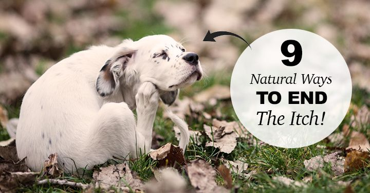 Natural Solutions For An Itchy Dog Dog Health Tips Itchy Dog