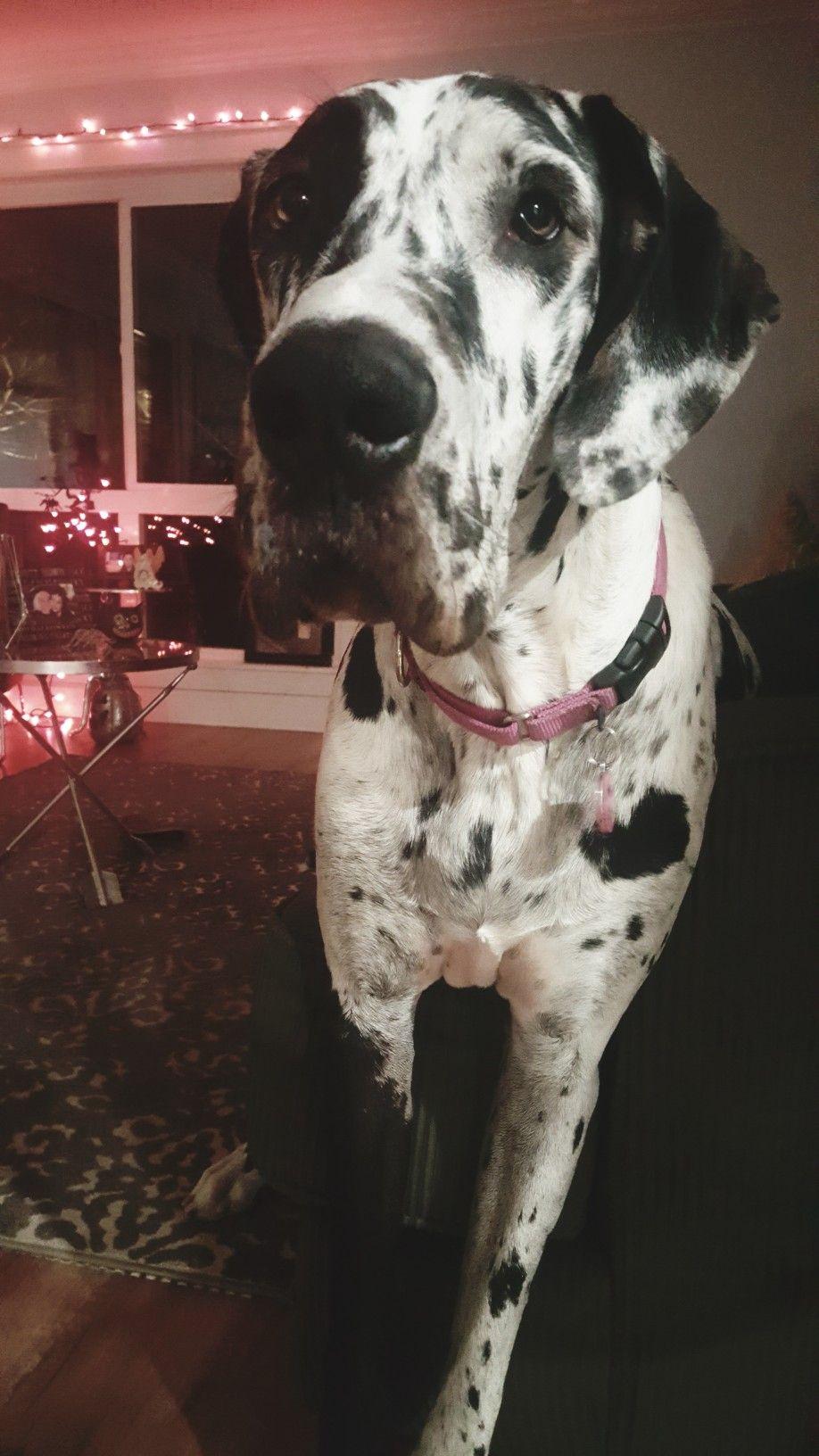 Quinn The Great Dane Great Dane Dogs Dane Dog Great Dane Facts
