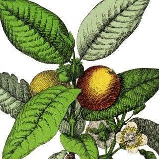 wonderful botanical guava fruit image the graphics fairy pinterest graphics fairy guava fruit and graphics