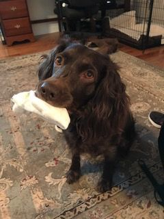 Litter of 3 Boykin Spaniel puppies for sale in HAWKINSVILLE, GA  ADN
