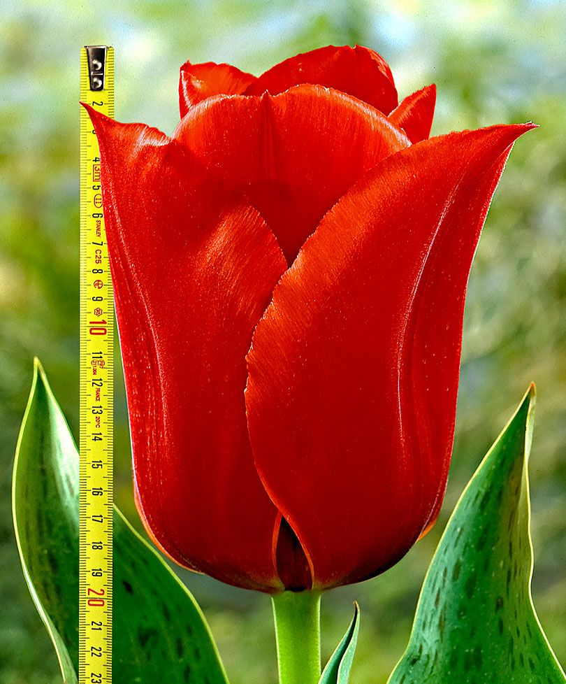 Giardinaggio Fiori.Tulipani Casa Grande Incredibile Tulipano Dai Fiori Grandissimi