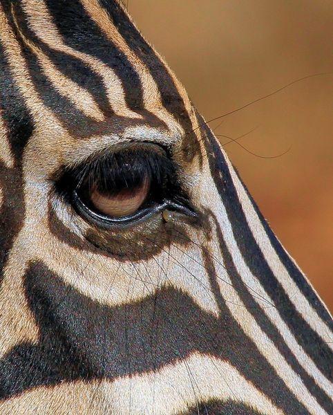Rgbstock Com Free Stock Photos Rgbstock Free Stock Images Zebra Eye 2 Wild Animals Photography Animal Photography Wildlife Animal Photography