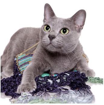 Doklao Korats Russian Blue Cat Russian Blue Cat Facts