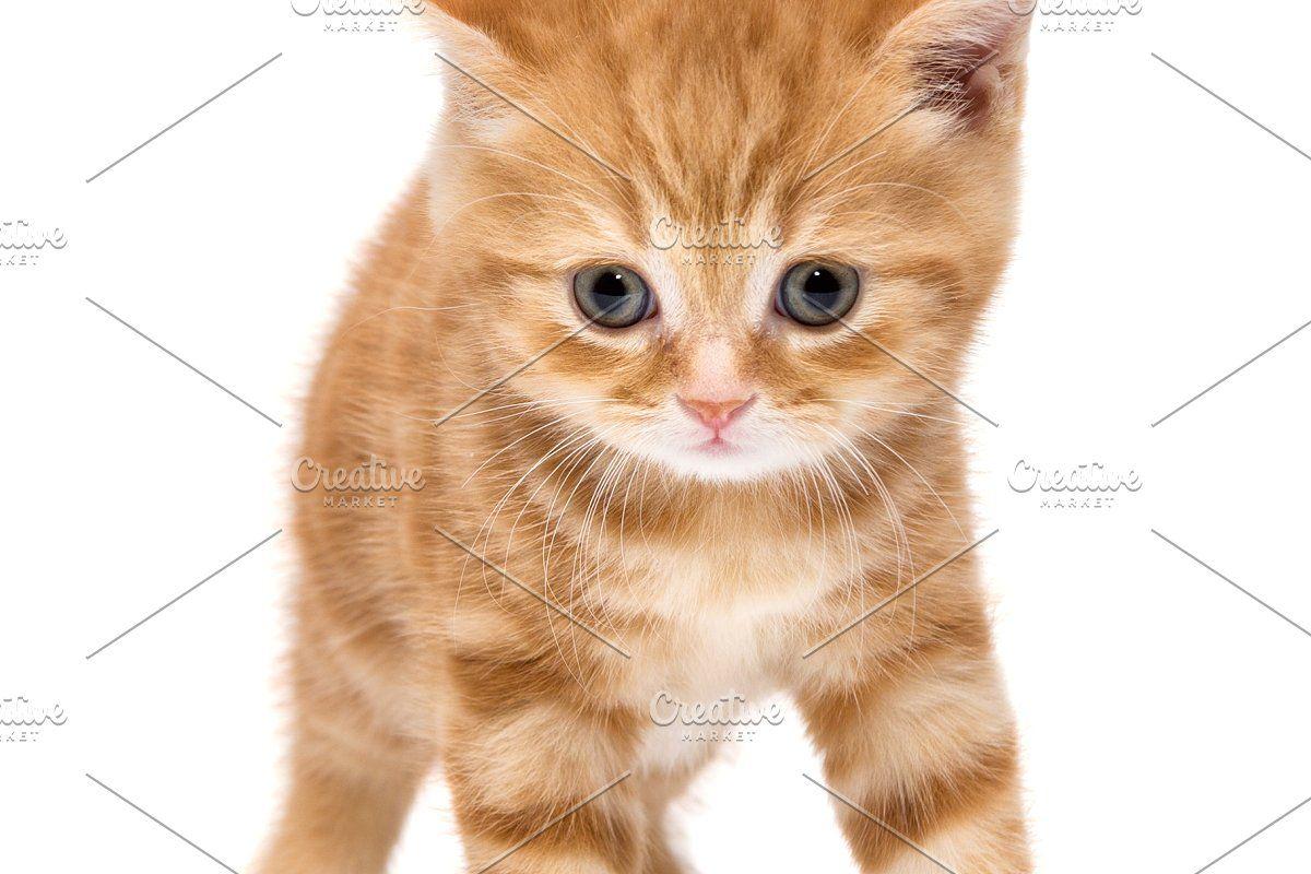 Little Kitten British In 2020 Little Kittens Kitten Breeds Kitten