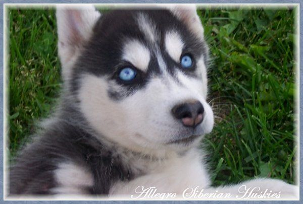 I Want A Dog With Blue Eyes Husky With Blue Eyes White Husky