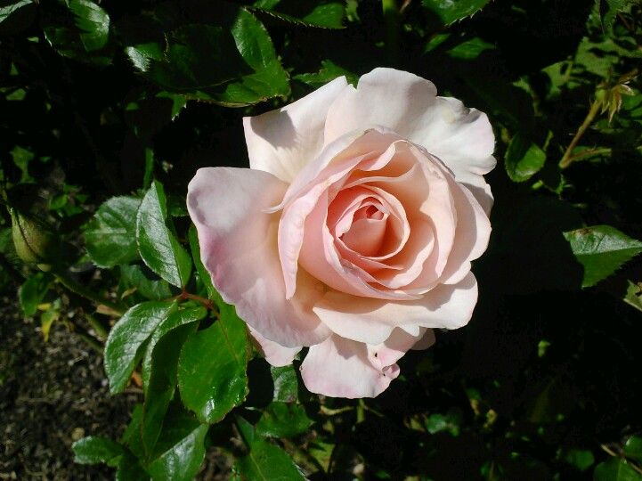 The Audrey Hepburn Rose Name Fits Perfectly Beautiful Roses Rose Coming Up Roses