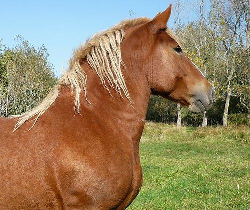 cheval breton