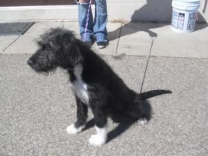 3211 Dixie Is An Adoptable Irish Wolfhound Puppy Dog In