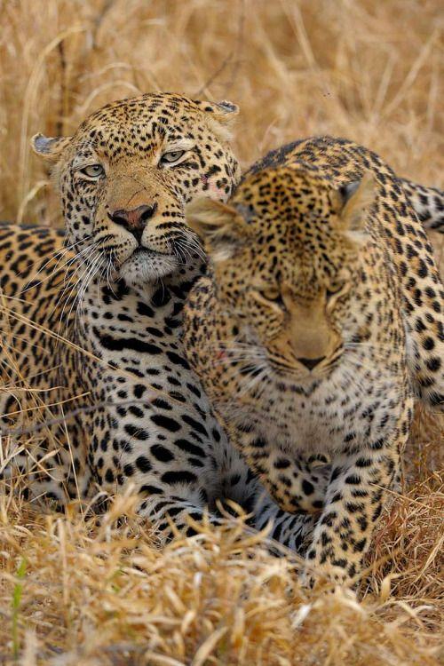 bigcatkingdom:  The leopard couple (by John Kok)