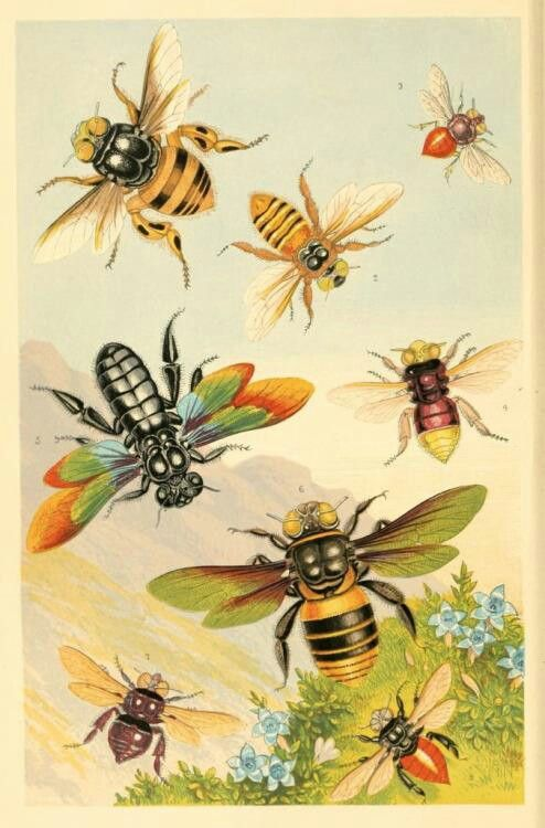 'Exotic Bees ' , frontispiece from 'Curiosities of entomology.' 1871.