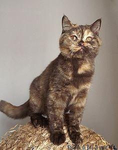 Chocolate Tortie British Shorthair Cats British Shorthair