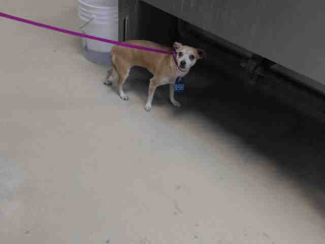SEE VIDEO ~~DIES THURS. 11/16/16-NEEDS URGENT FOSTER/ADOPTION/RESCUE - -  must have and adoption hold by 5:30pm OR a rescue hold by 5:50pm)!!This DOG - ID#A472118  I have a rescue group interested in me.  I am a female, brown and white Chihuahua - Smooth Coated.Harris County Public Health and Environmental Services.   https://www.facebook.com/petsofharriscountyanimalshelterhouston/videos/1303997196330742/