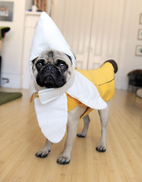 banana pug. This one actually made me laugh out loud- not quietly chuckle to myself like most people do when they type  lol  & Donu0027t slip. | Pinterest | Animal Pug life and Dog