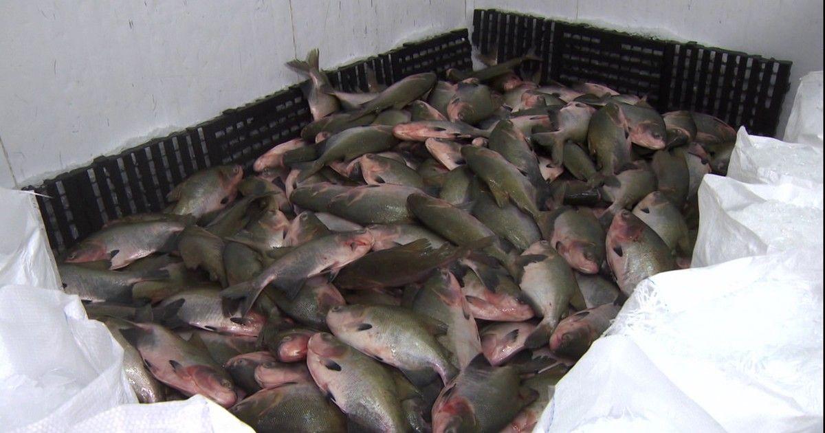 Produção de peixes em cativeiro não para de crescer em Rondônia