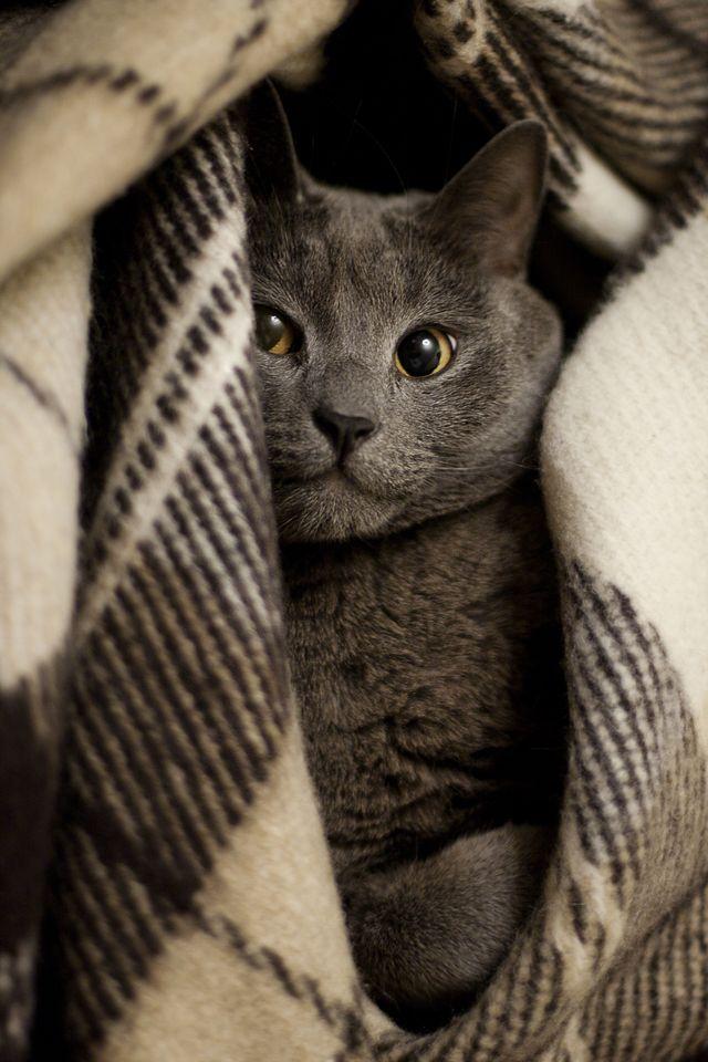 Russian Blue Kitty beautiful russian_blue cat Cats