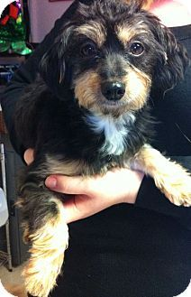 Lucy Is A 2 Year Old Female Long Hair Dachshund She May Do Very