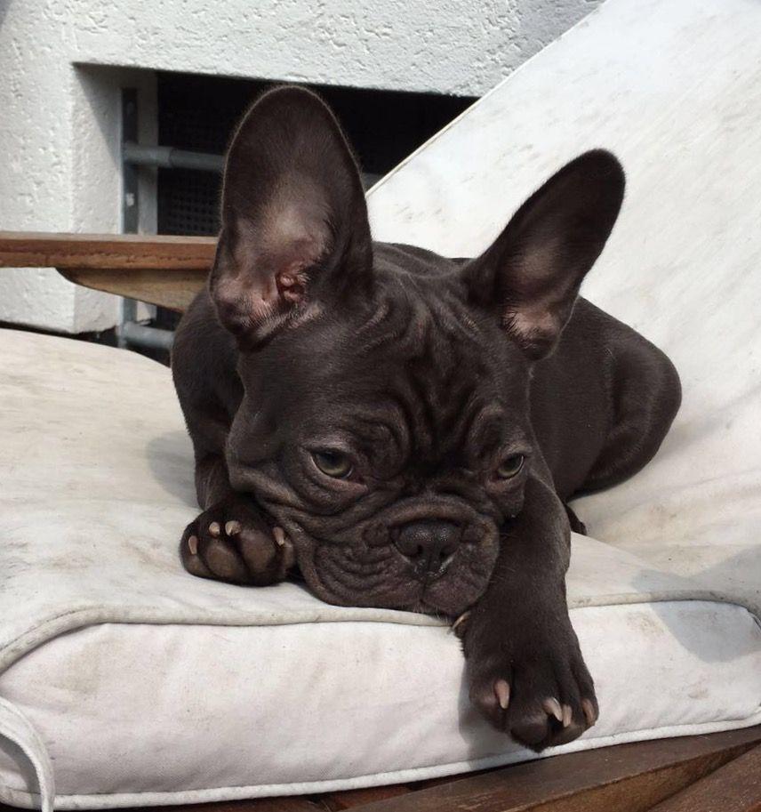 Einfach Nur Mude Franzosische Hunde Franzosische