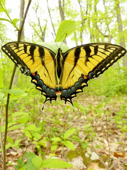 Studying the Tiger Swallowtail, a Familiar Sight Flitting in the City - The New York Times