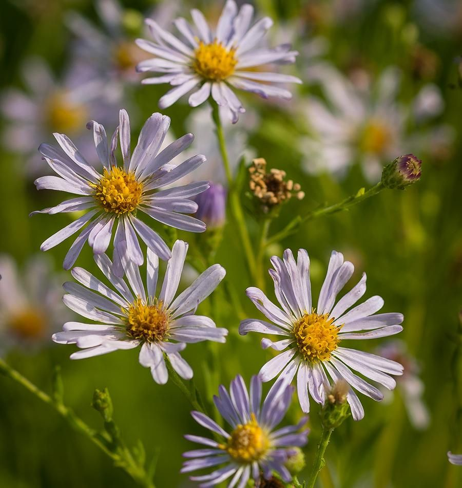 Douglas Aster 50g (approx. 100000 seeds) in 2020 (With