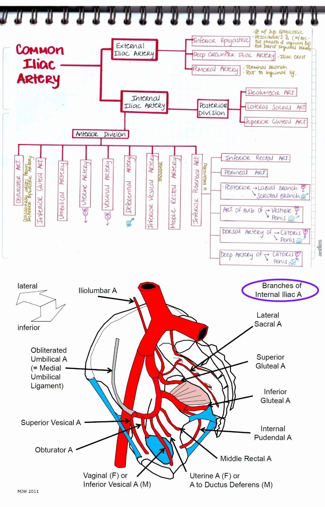 Internal Iliac Artery Mnemonic Human Anatomy Study Arteries