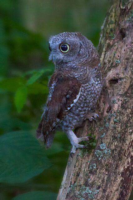 Screech Owl | Screech owl, Owl, Owl bird