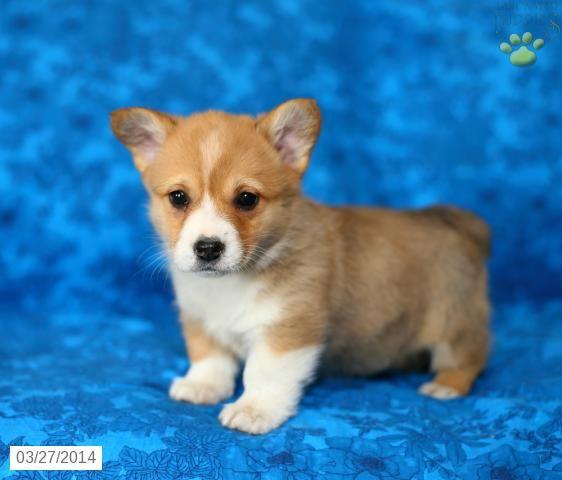 Welsh Corgi Pembroke Puppies For Sale Lancaster Puppies Welsh Corgi Puppies Pembroke Welsh Corgi Puppies Corgi Puppy