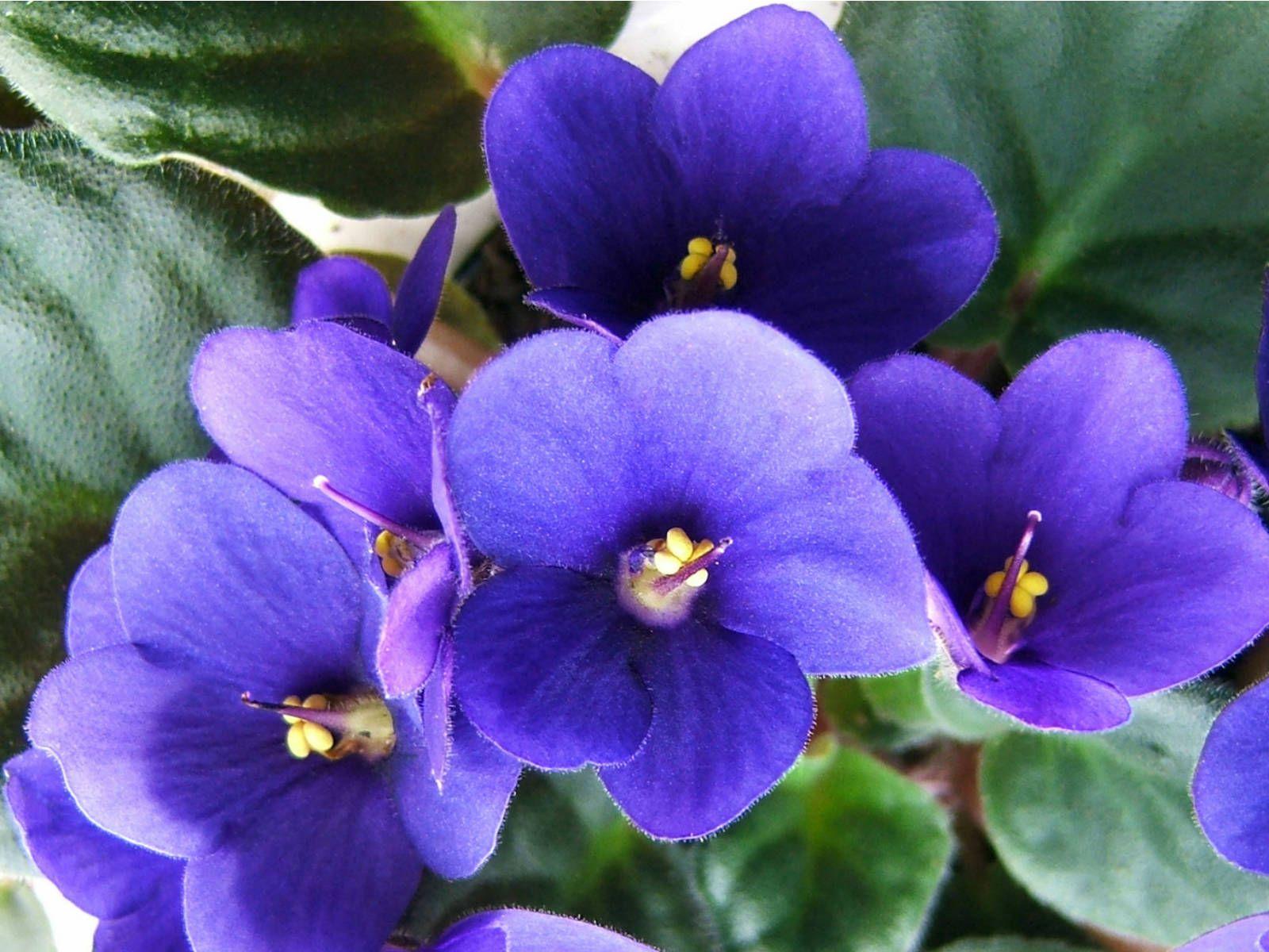 поздравляю праздником голубая промфиалка фото что она
