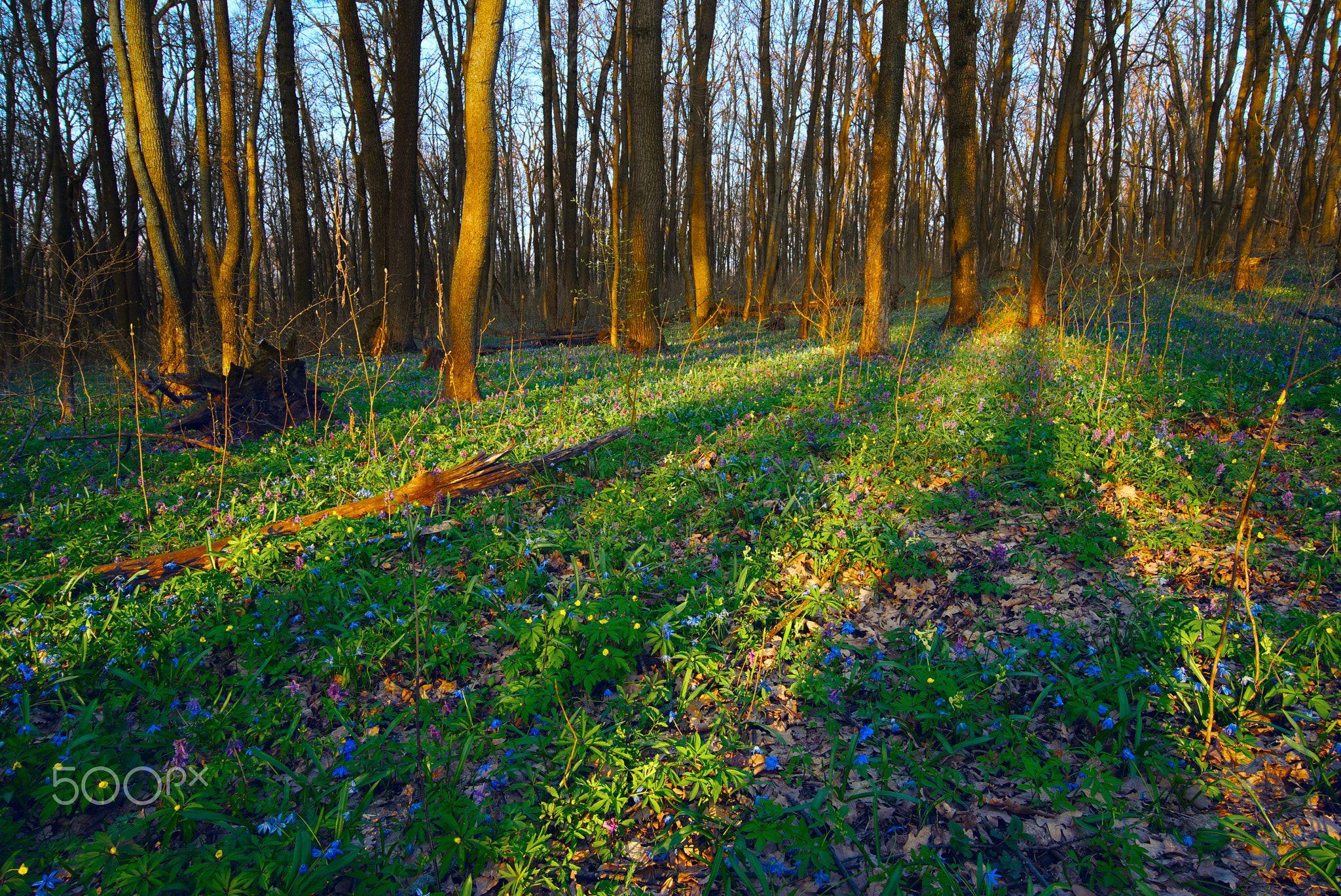 Sunlit Forest Full Of Snowdrop Flowers In Spring Season Beatiful