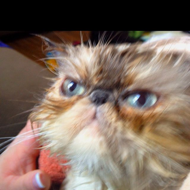 One angry wet kitty! -partridge!