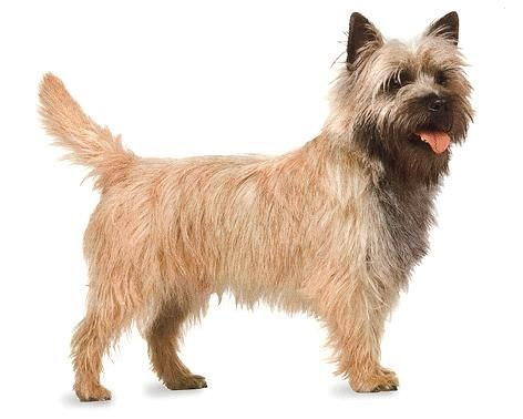 Cairn Terrier Dog Reviews And Pictures Cairn Terrier Cairn