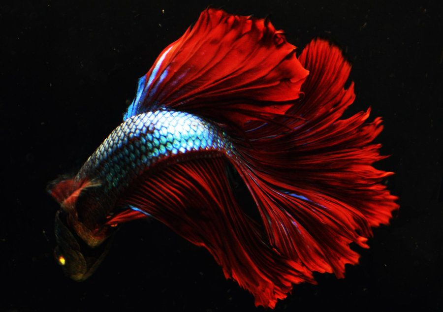 Green flame dragon ohm betta male by happybettas on for Betta tropical fish