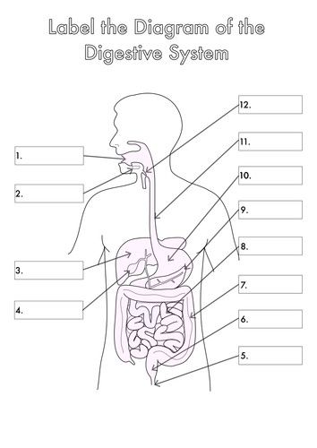 Digestive System Diagram For Kids To Label Wiring Diagram