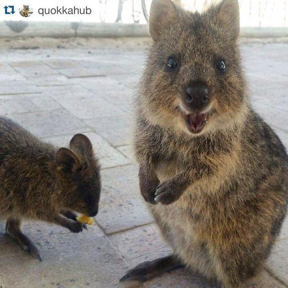Quokkas Quokka, Monkeys funny, Happy animals