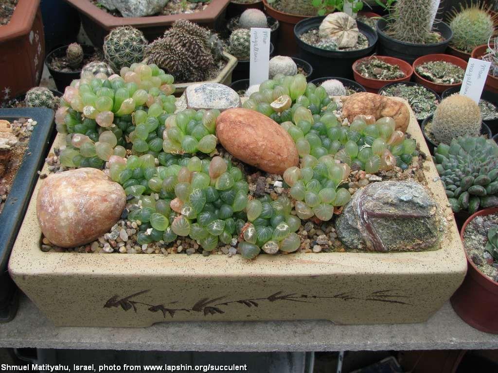 Haworthia cooperi v. truncata  Хавортия Купера разн. трунката (усеченная) (Israel, Shmuel Matityahu)