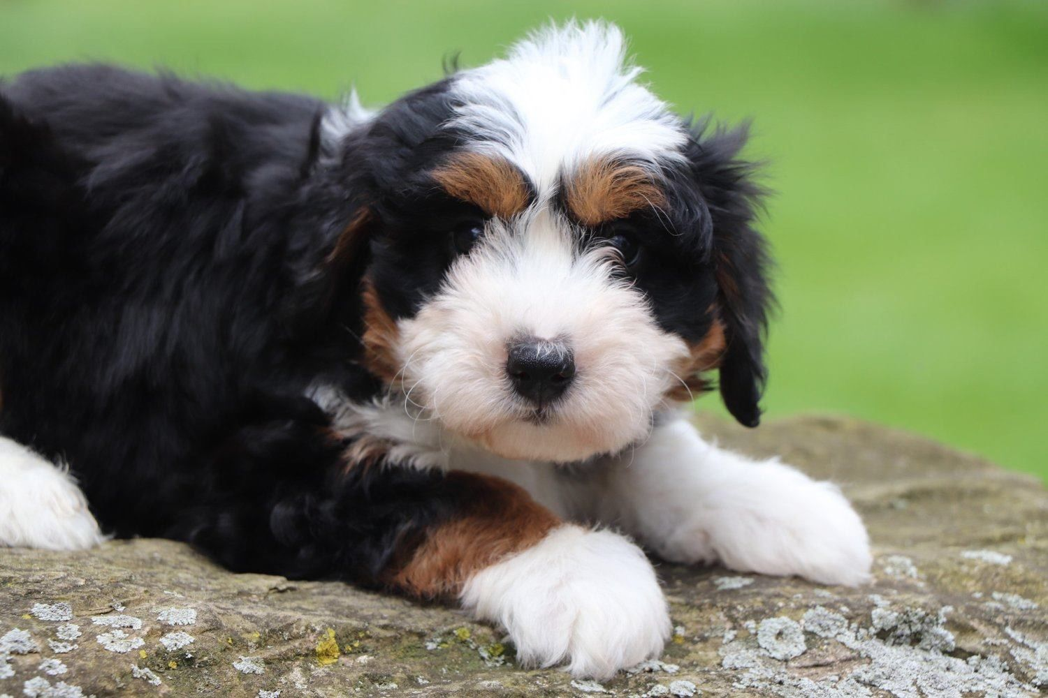 To Find Out More About The Crockett Doodles Program And Our Puppies Please Visit Www Crockettdoodl Bernedoodle Puppy Goldendoodle Puppy Doodle Puppy