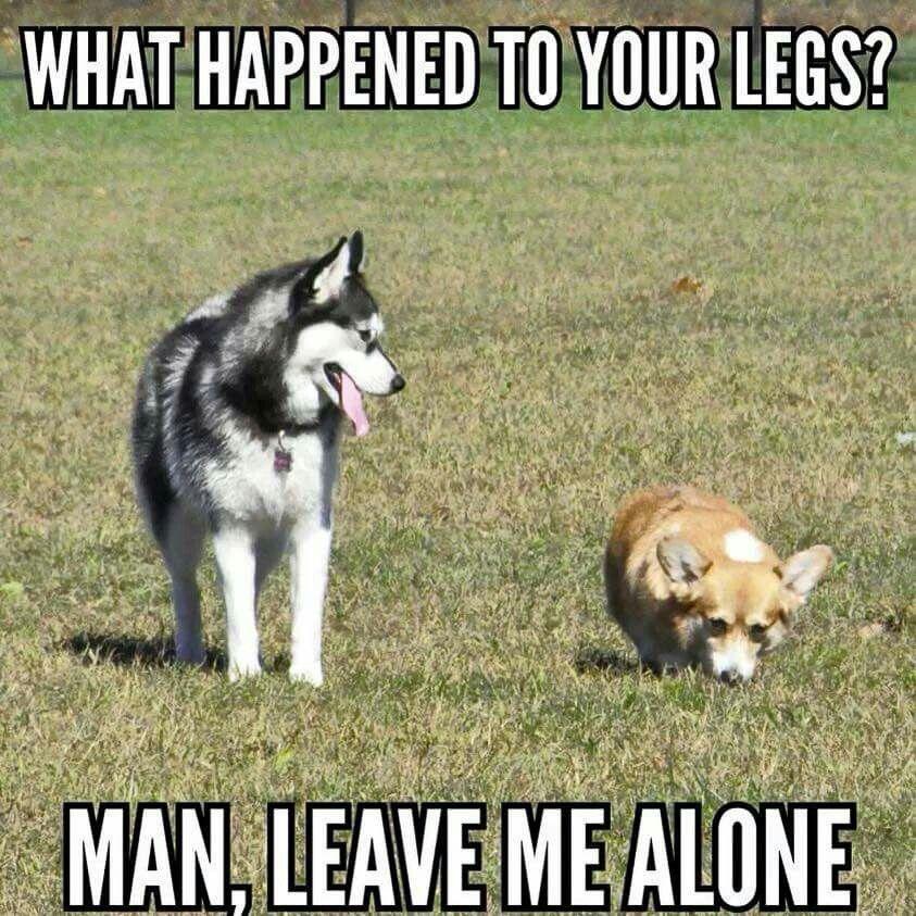 Looks familiar... | Corgi memes, Dog jokes, Funny dog jokes