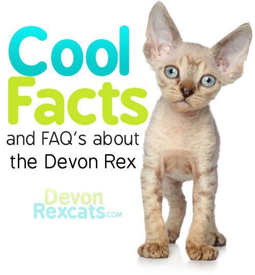 I Want A Devon Rex Kitty Devon Rex Cats Devon Rex Devon Rex Kittens