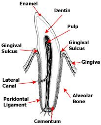 Dental diagram of dogs tooth   Pet dental care, Coconut ...