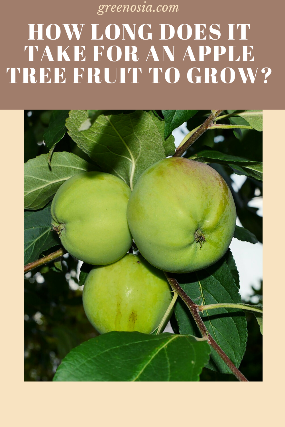How Long Does It Take For An Apple Tree Fruit To Grow Apple Tree Apple Apple Plant